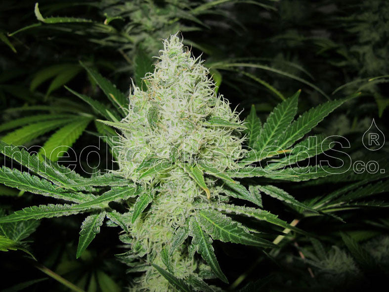 Venta de semilla de marihuana DEVIL FRUIT (3) Medical Seeds