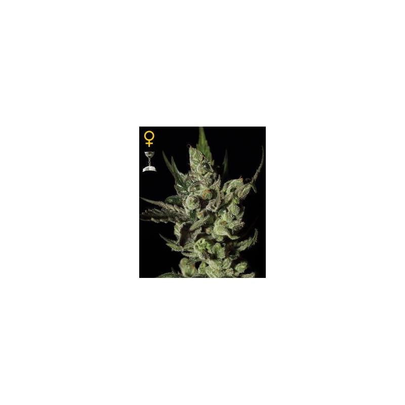 Exodus Cheese (3) - Green House Seeds