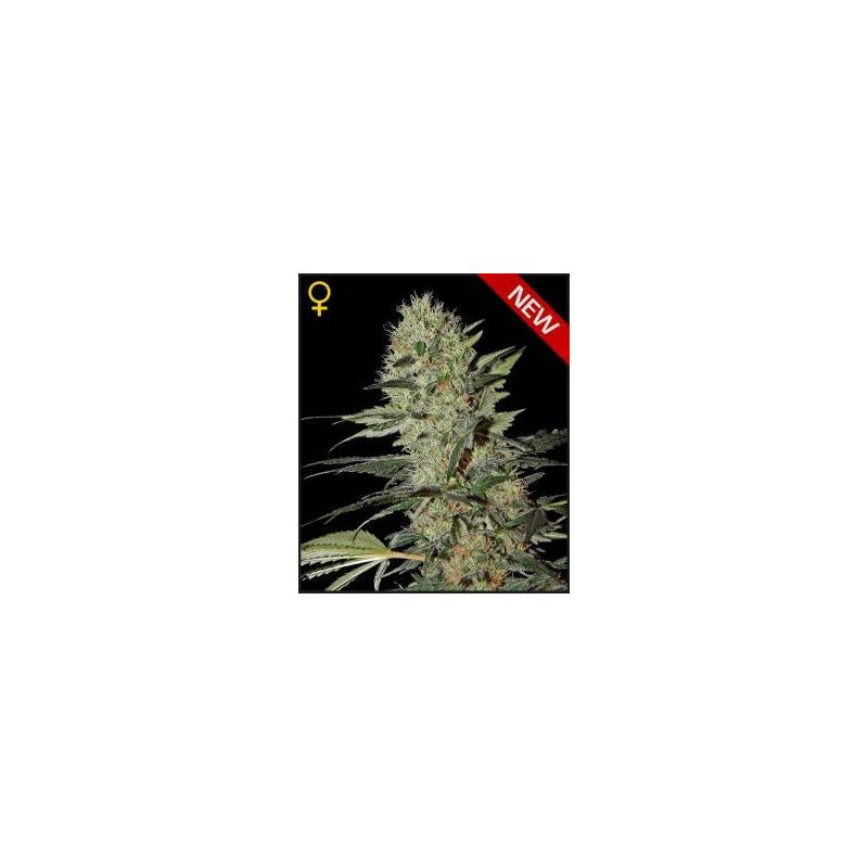 Exodus Chesse Auto (3) - Green House Seeds