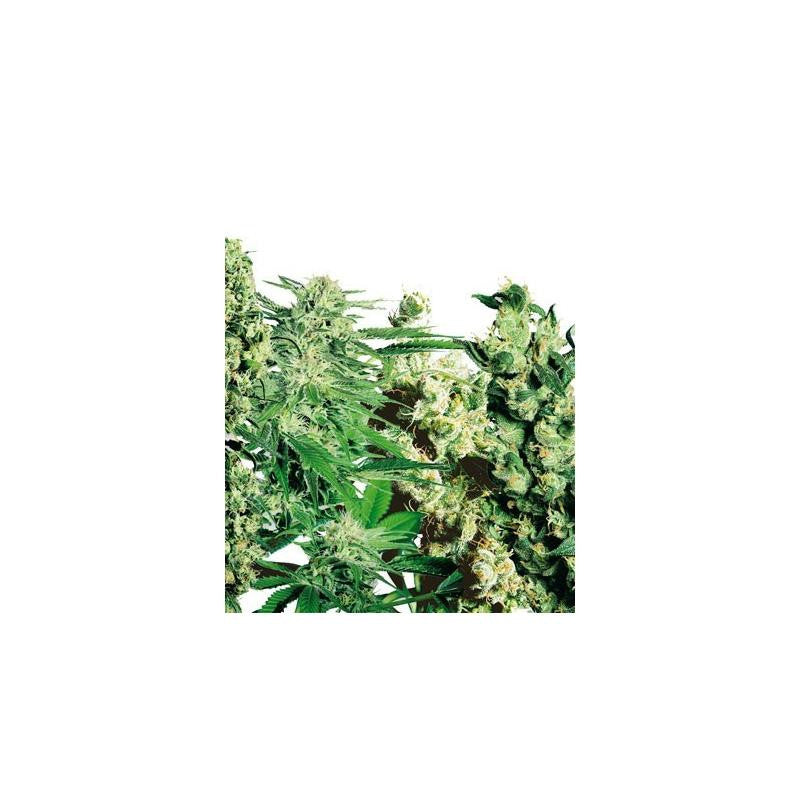 Feminised Mix (10) - Sensi Seeds