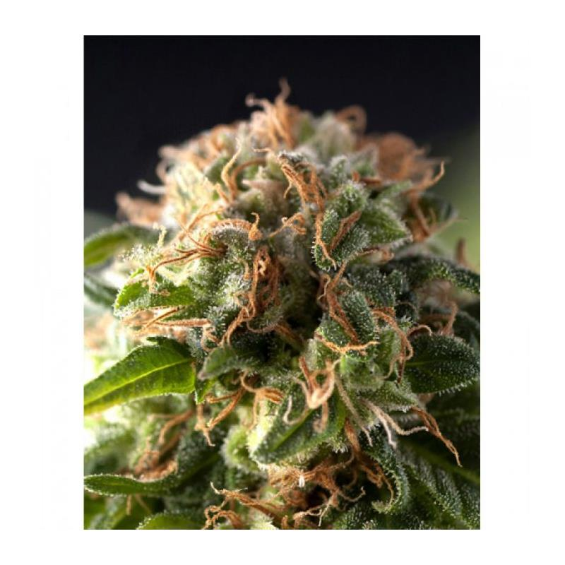 Fresh Candy (1) - Pyramid Seeds