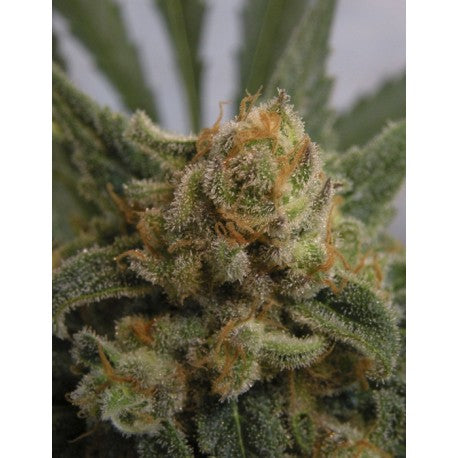 Grapegum Fem (3) - Ripper Seeds