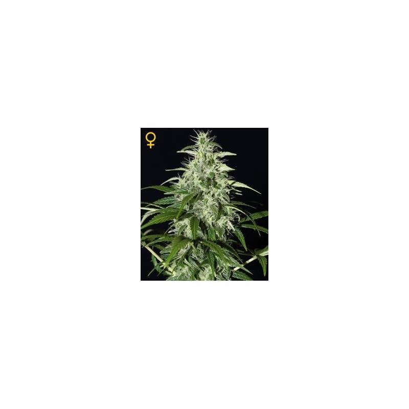 Kalashnikova Auto (3) - Green House Seeds