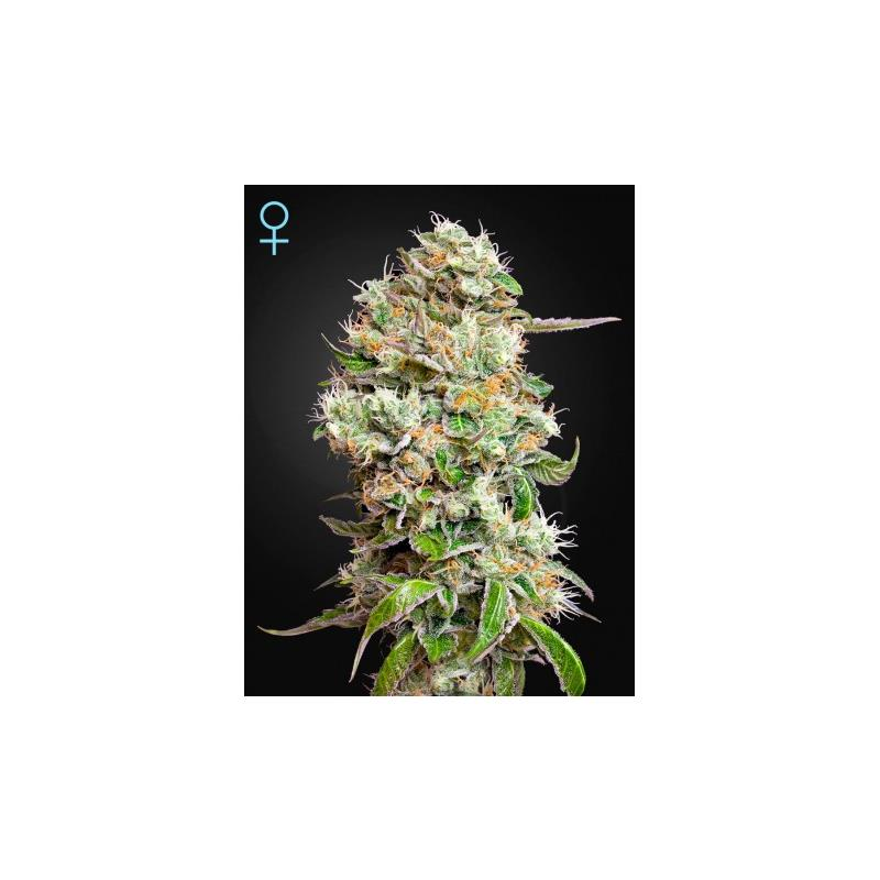King Kush Auto CBD (3) - Green House Seeds