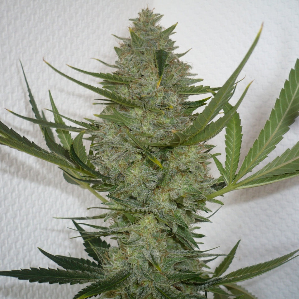 Moby Dick Fem - Azúcar Seeds