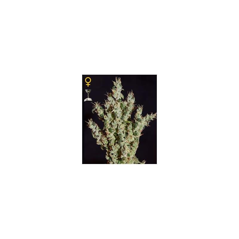 NL5 Haze Mist (3) - Green House Seeds