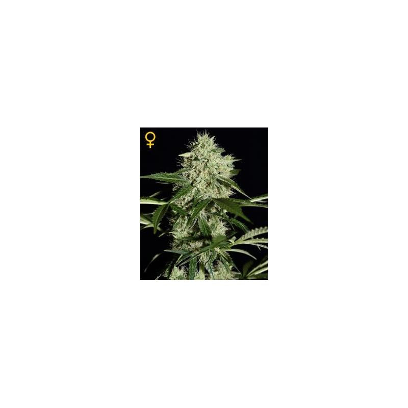 Northern Lights Auto (3) - Green House Seeds