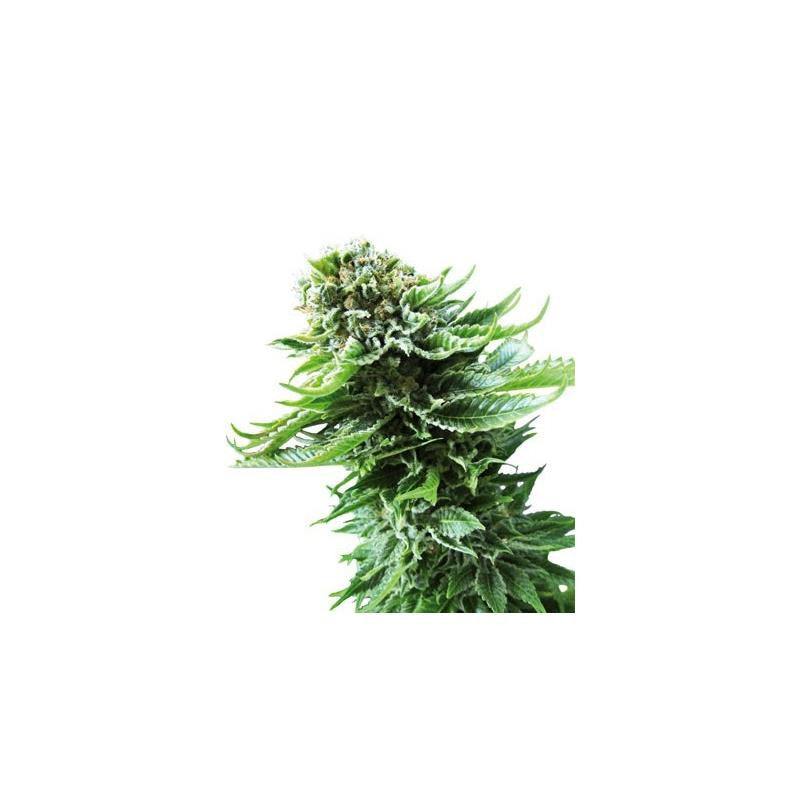 Northern Lights Automatic (3) - Sensi Seeds