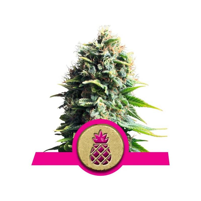 Pineapple Kush (3) - Royal Queen Seeds