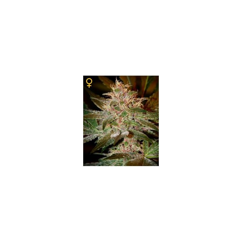 Pure Kush (3) - Green House Seeds