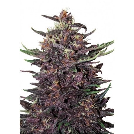 Purple Kush Auto (3) - Buddha Seeds