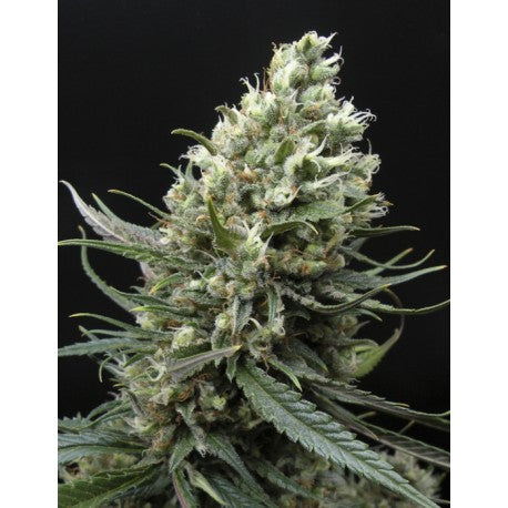 Ripper Haze Fem (3) - Ripper Seeds