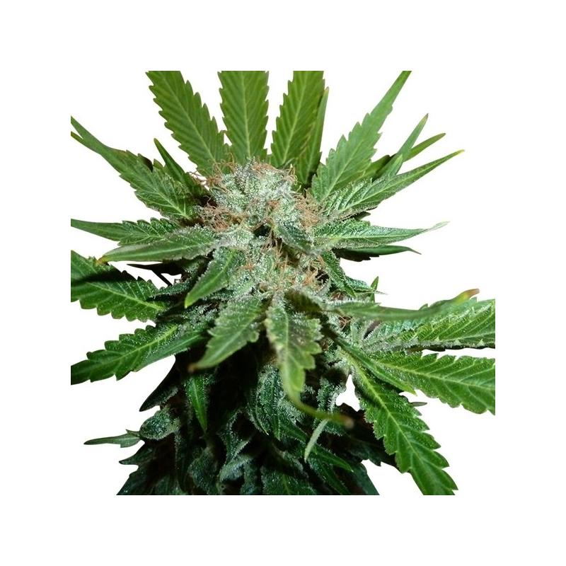Royal Cheese Fast (3) - Royal Queen Seeds