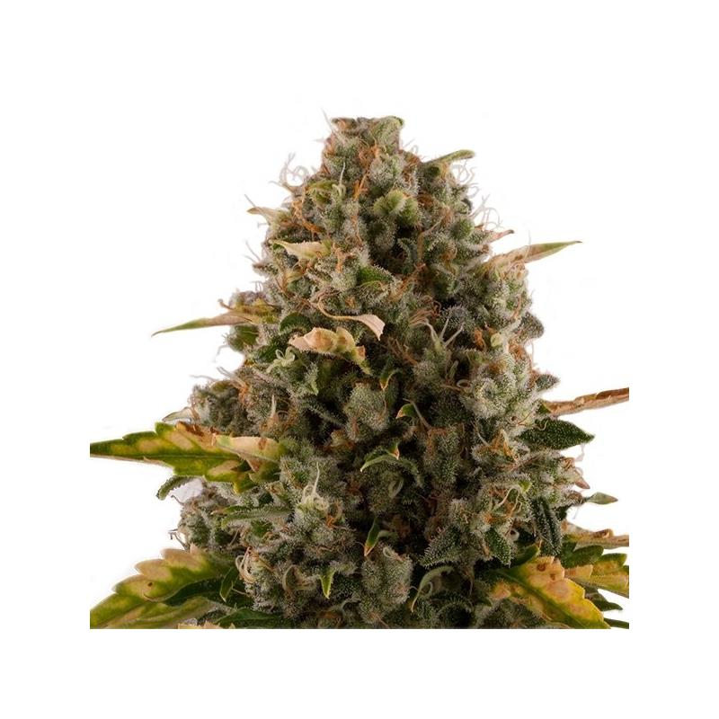 Royal Moby (3) - Royal Queen Seeds