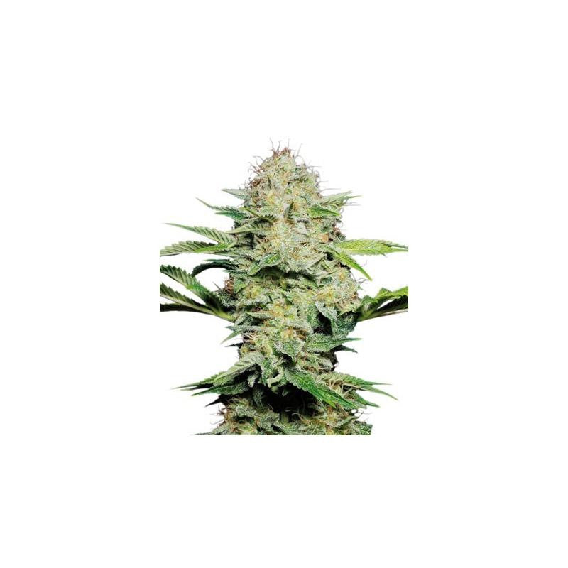 Sensi Skunk Automatic (3) - Sensi Seeds