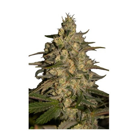 Silver Jack (5) - Seedmakers