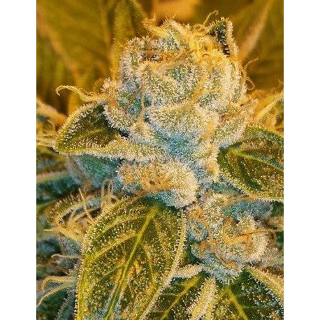 Sour Ripper Fem (3) - Ripper Seeds