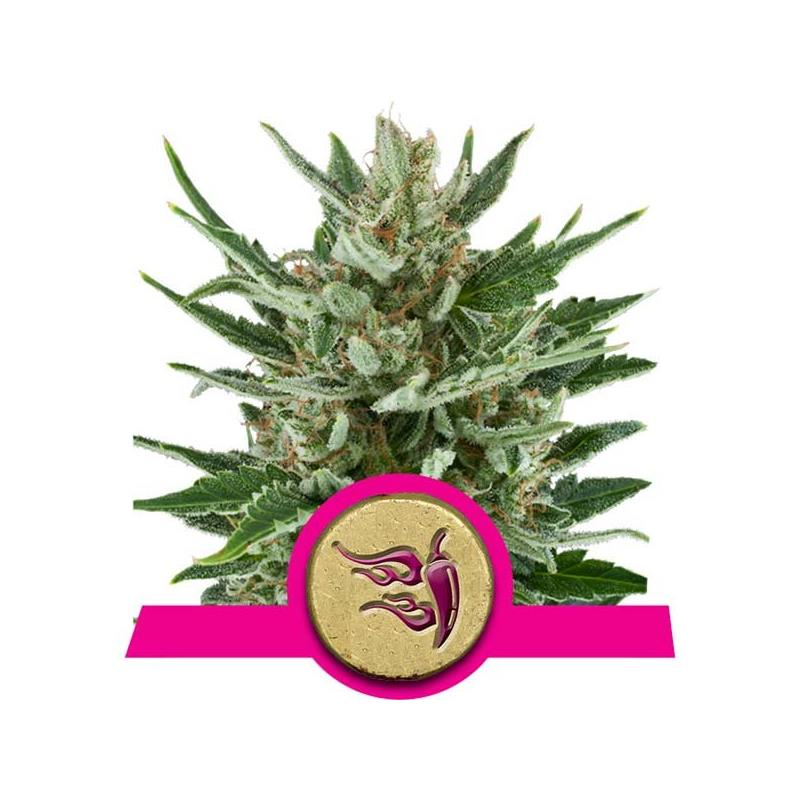 Speedy Chile Fast (3) - Royal Queen Seeds