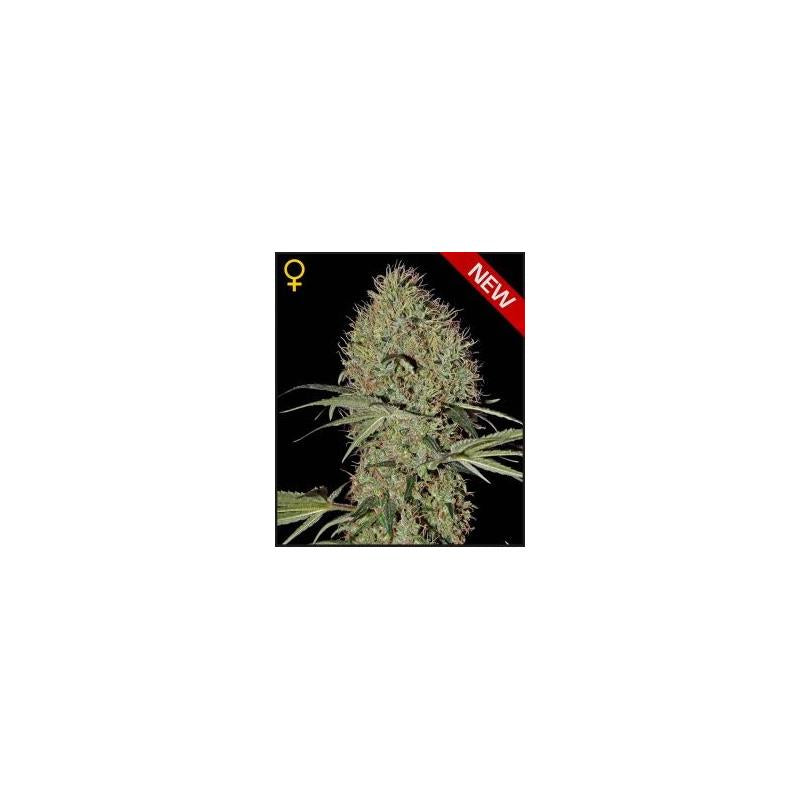 Super Bud Auto (3) - Green House Seeds