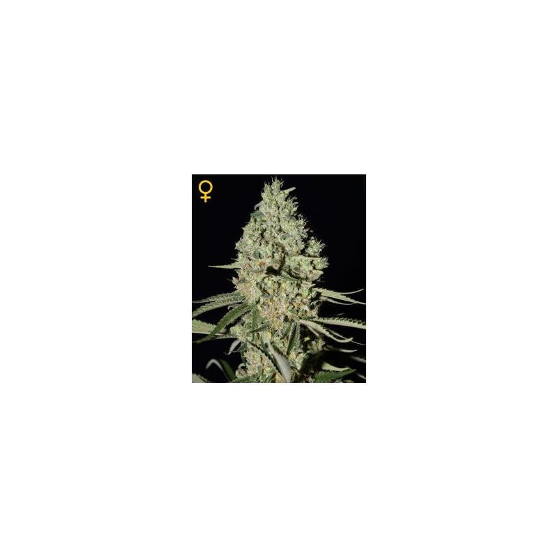 Super Critical (3) - Green House Seeds