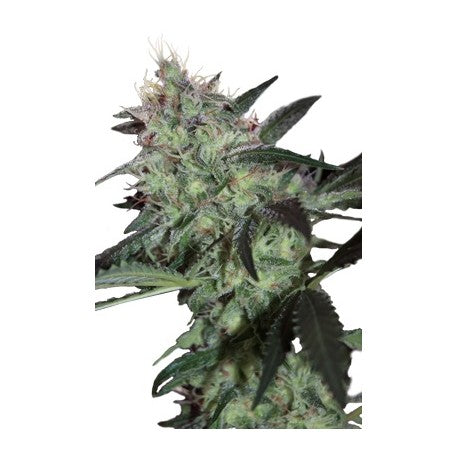 Super Diesel (5) - Seedmakers