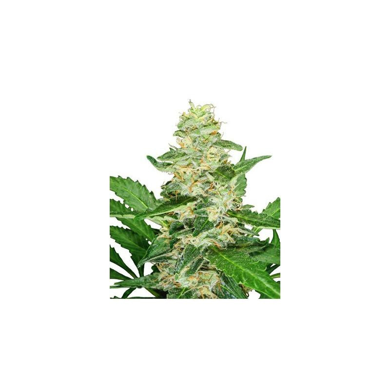 Super Skunk Automatic (3) - Sensi Seeds