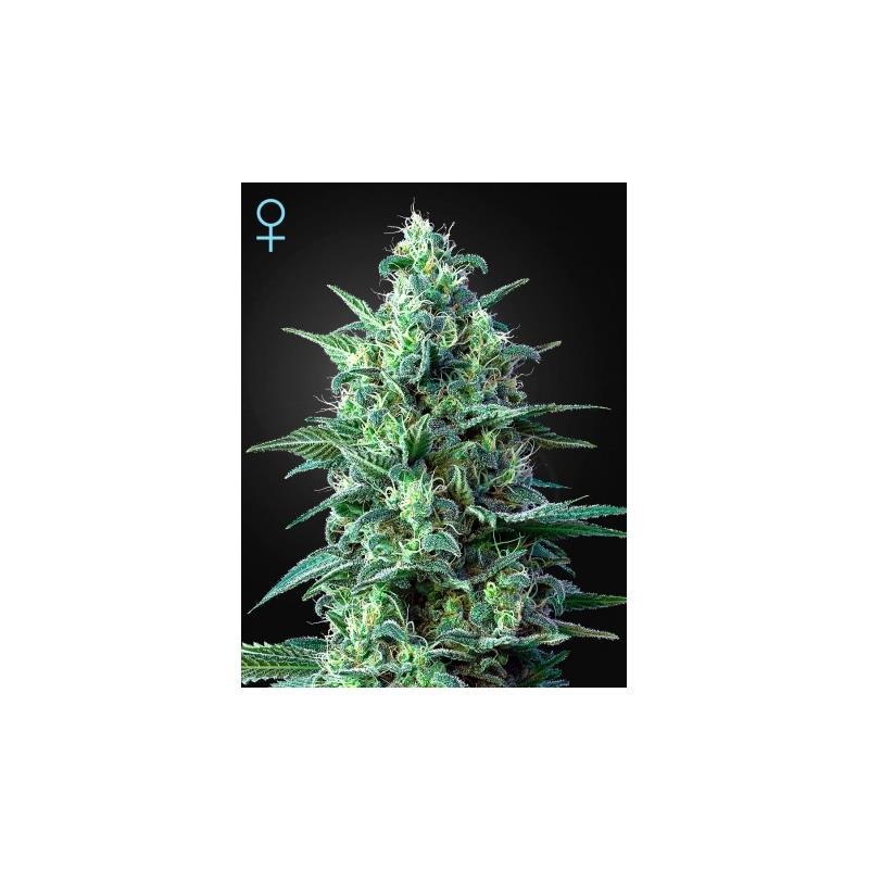 White Widow Auto CBD (3) - Green House Seeds