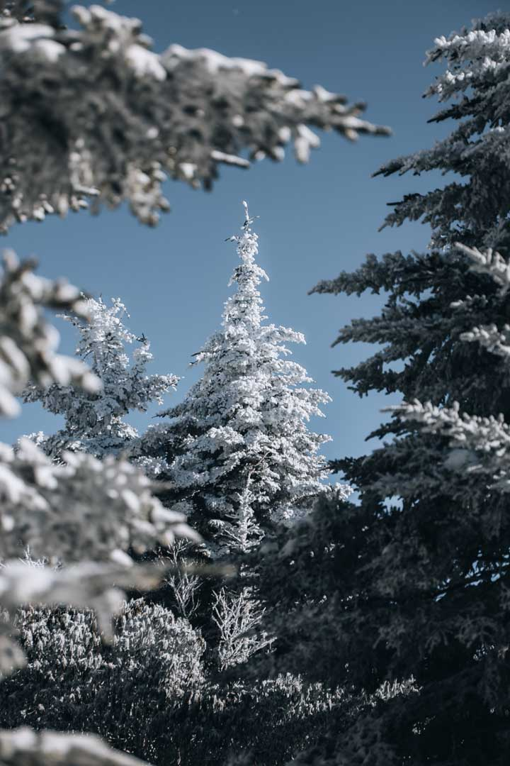 snow tree forest