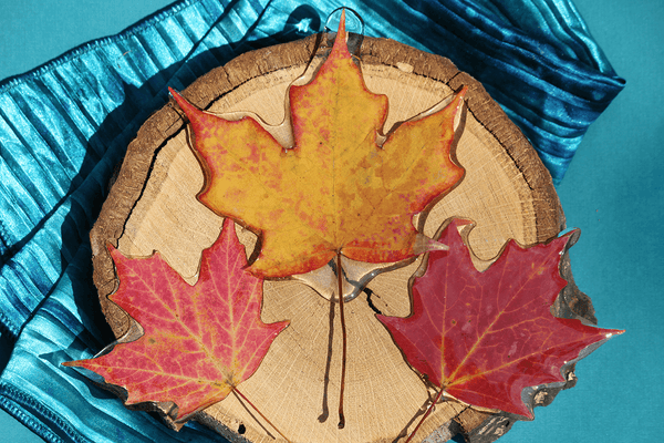 3 New England Maple Leaves!