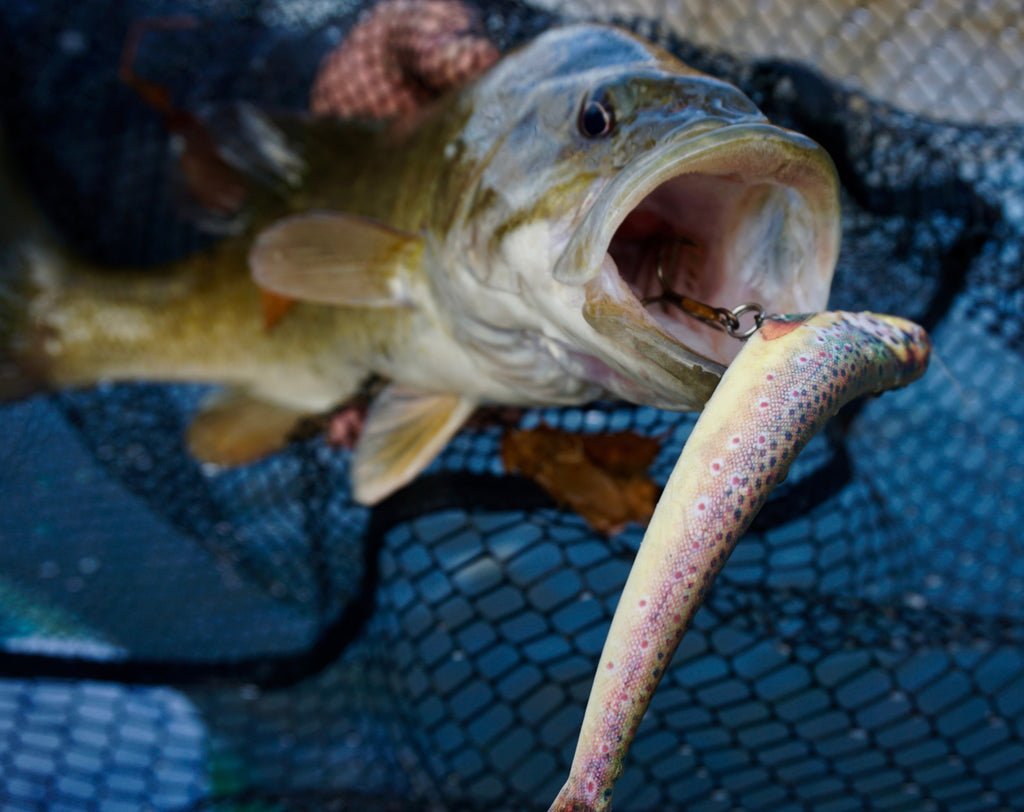 Image of a huge Northern Pike caught with the Wounded Rattle Shad