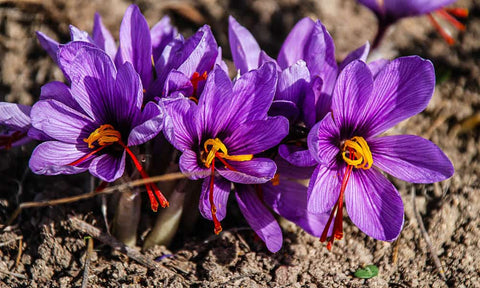 saffron flower for the Ageless