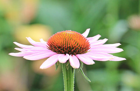 Ageless Inside Out - Natural Rejuvenation & Wellbeing success in hypnotic programming echinacea for the Ageless