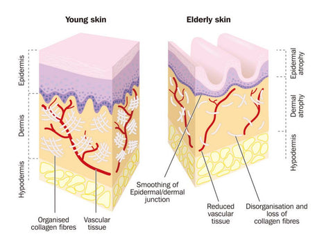 Collagen Peptides for Beauty & Wellbeing young and old skin comparison for the Ageless
