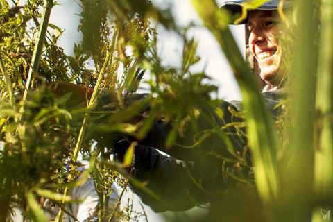 Harvesting hemp cannabis field