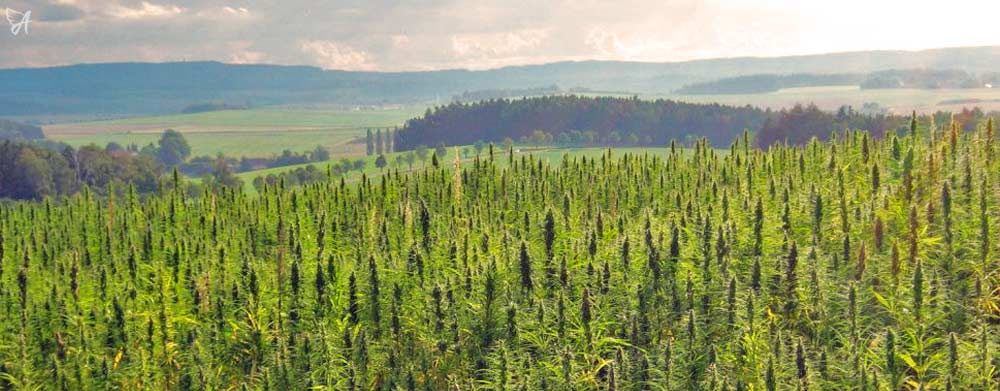 Hemp Fields CBD Oil Guide