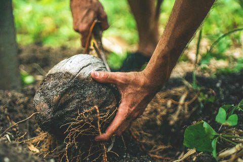 Opening a coconut in the jungle