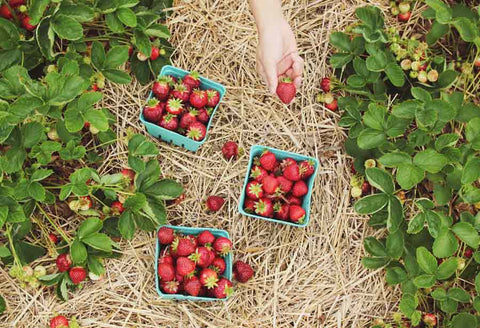 Organic Bio Strawberry Crop