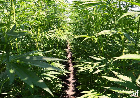Source your CBD Carefully Hemp Field