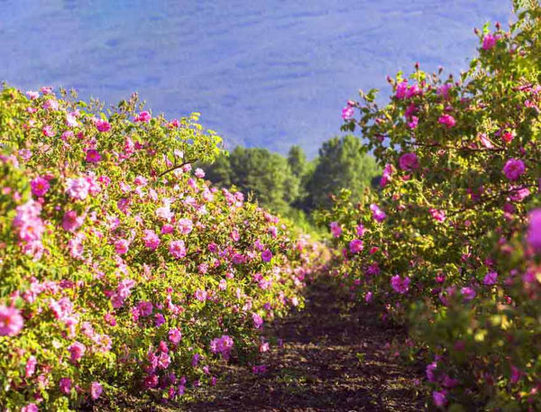 The Valley of Roses