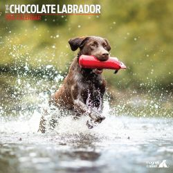 Chocolate Labrador Dog Calendar 2021