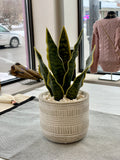 Snake Plant with Cement Pot