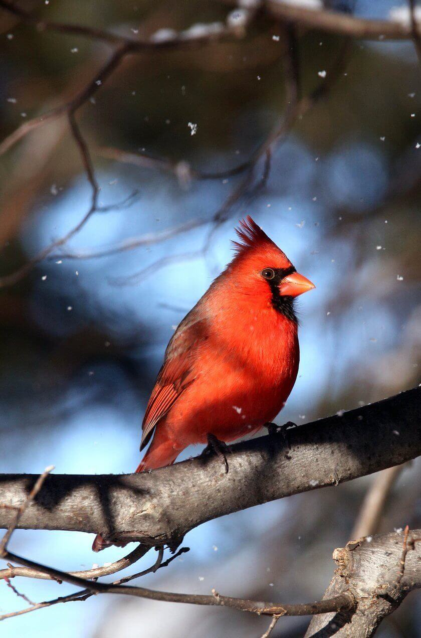 The Hungry Cardinal
