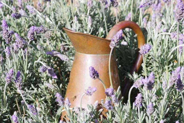 copper pitcher placed in a field of lavender flowers