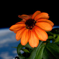 Flower blooms in space!