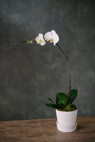 Angus and Celeste white water bead planter with Phalaenopsis Orchid