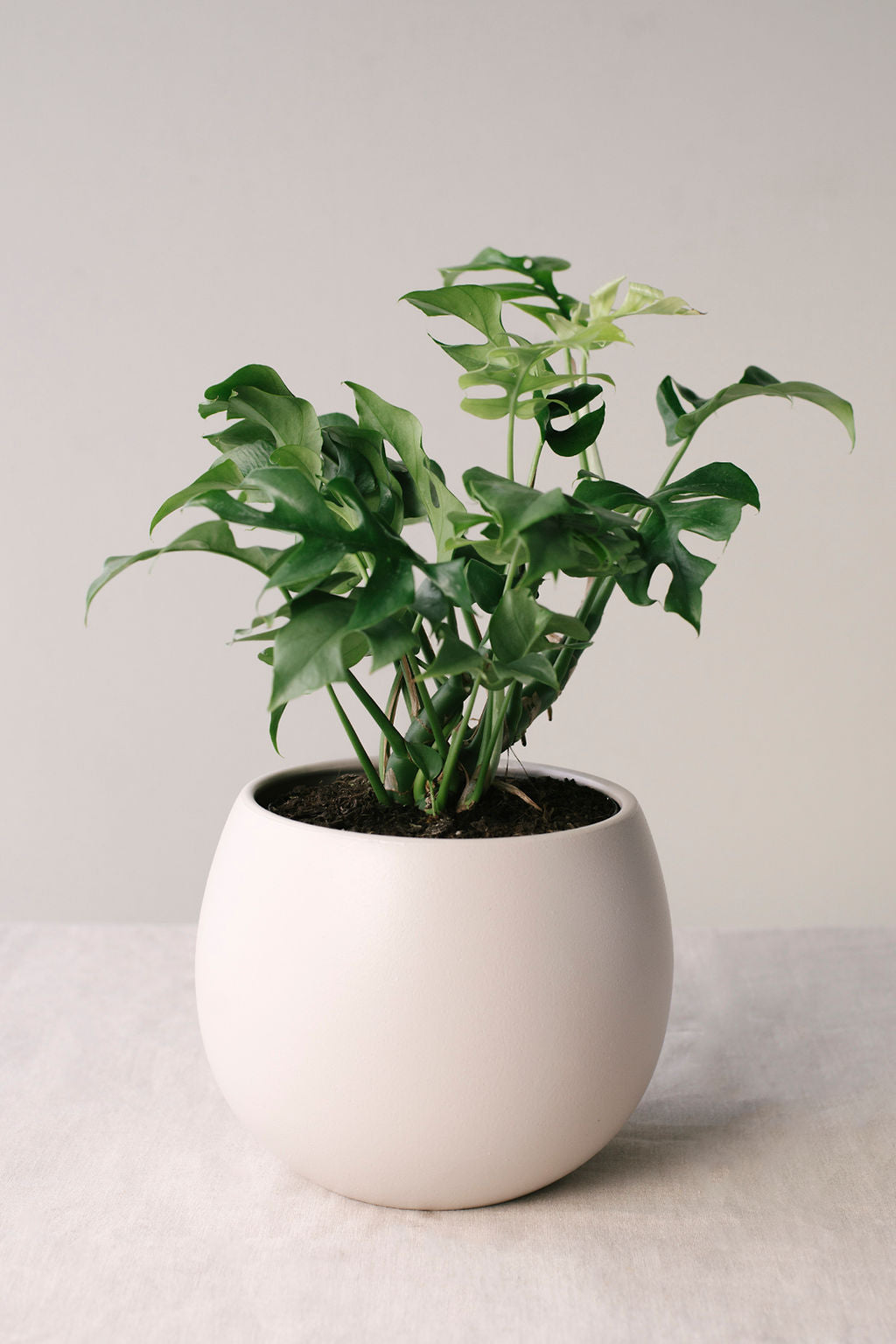 Monstera Adansonii in Bower Putty pot
