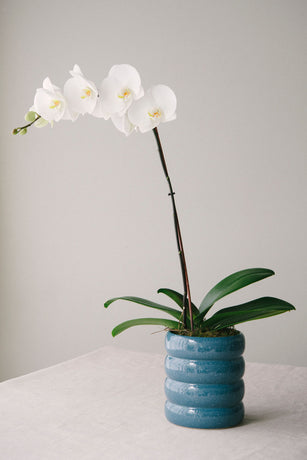 Phalaenopsis Orchid in Denim Ribbed Ceramic Pot