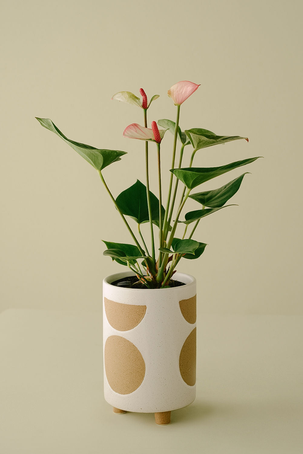 Anthurium Plant and Ceramic Footed Pot