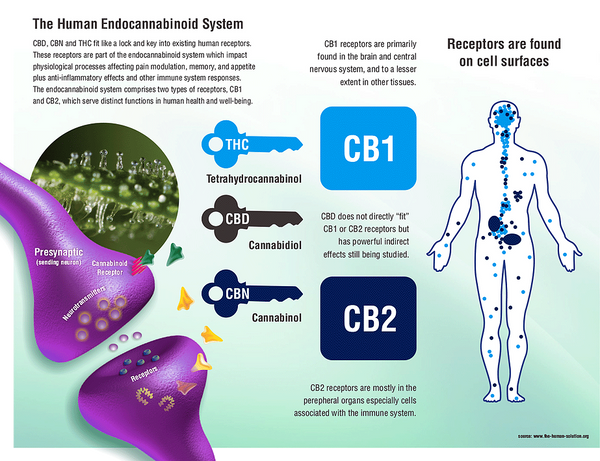 Endocannabinoid System (ECS) - A brief explanation