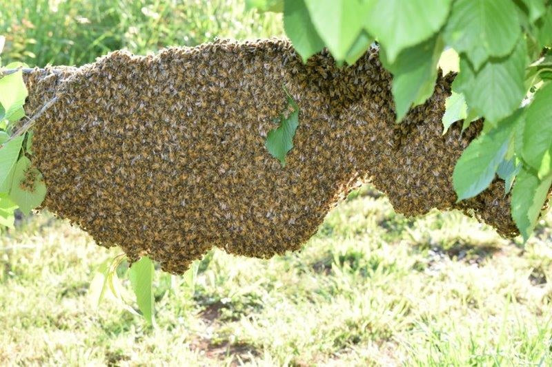 AAA Workshop -Swarm control & prevention - ONLINE CLASS - REGISTER YOUR INTEREST NOW
